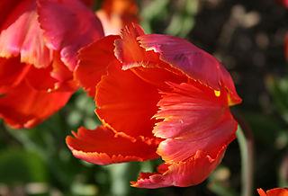 Tulip orange favourite