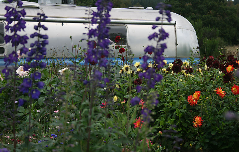 Delphiniums and airstream