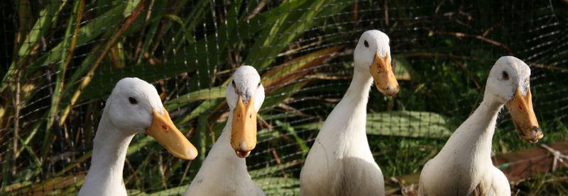 The 4 ducks