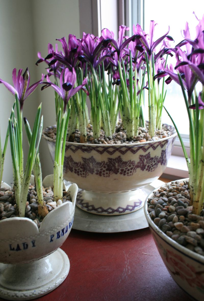 Bowls of iris