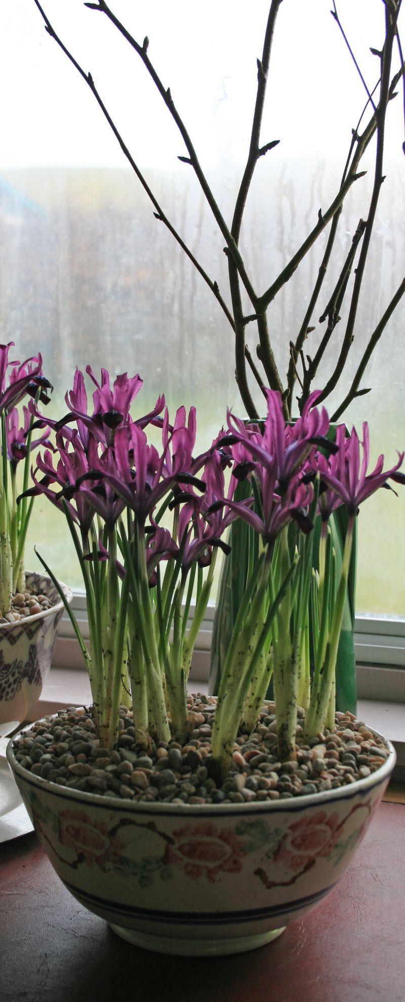 Iris and birch