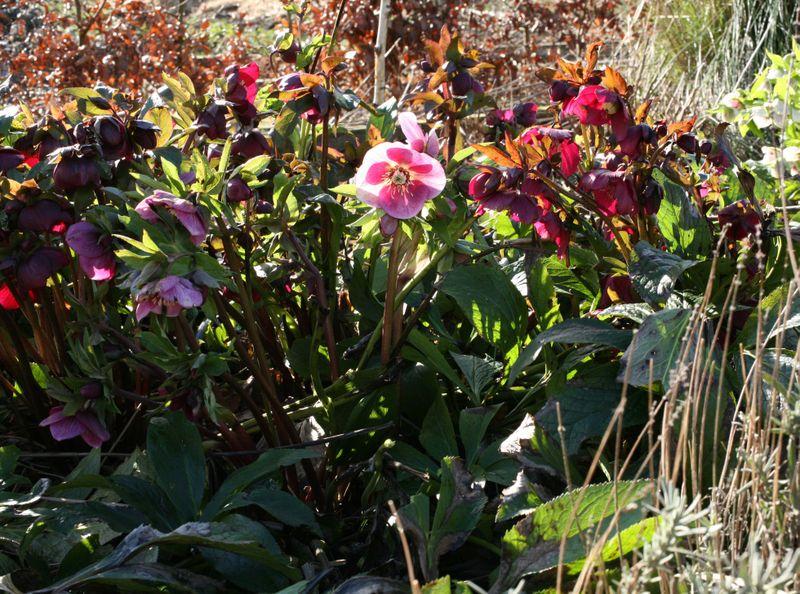 Hellebores in garden