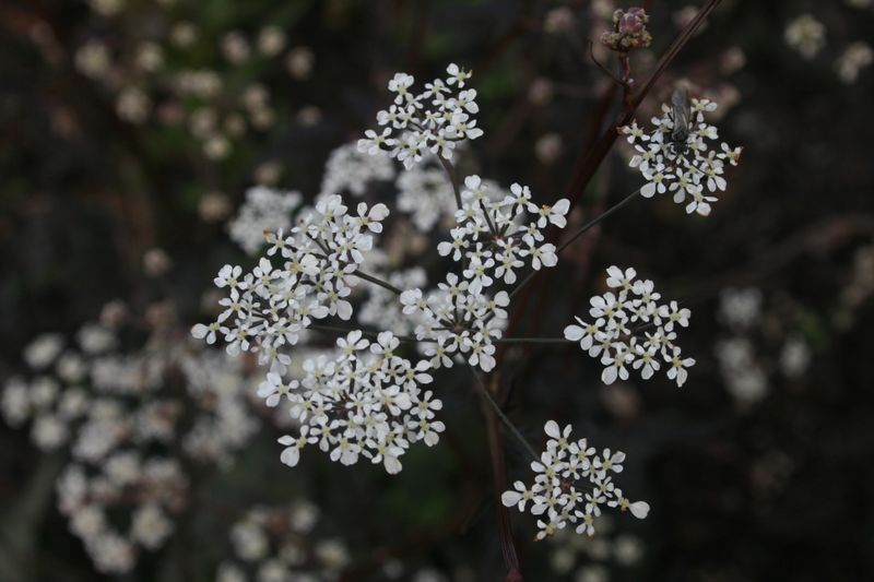 Black leaved cow parsley