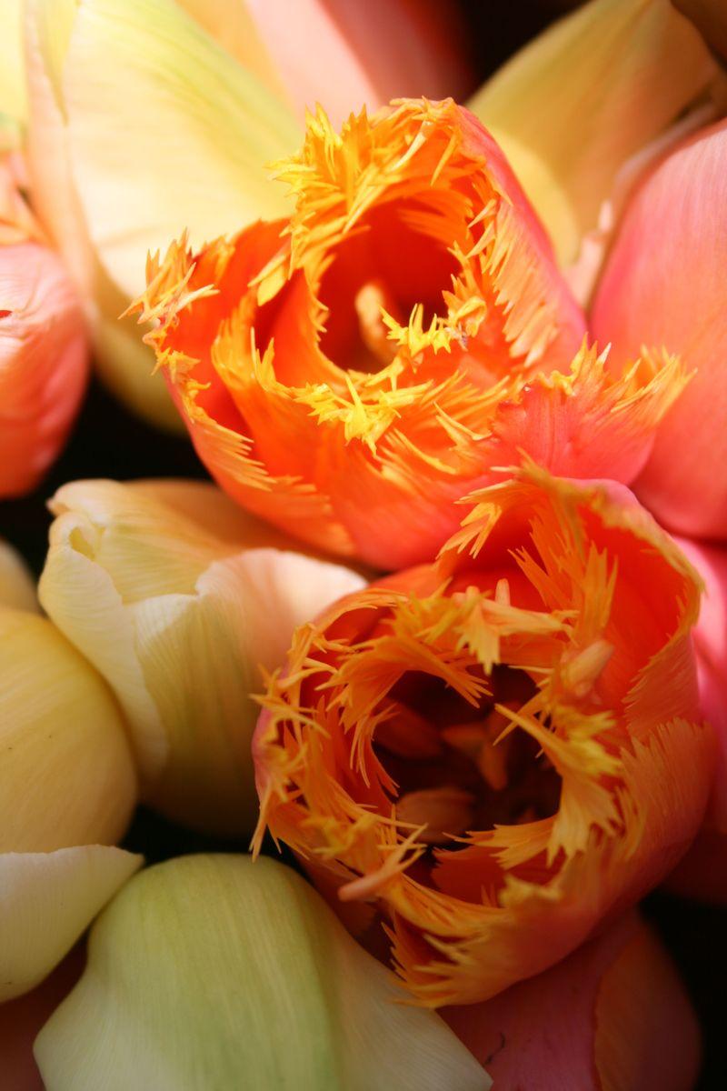 Orange fringed tulips