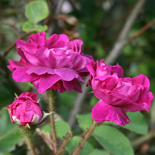 Late-rose