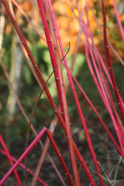 Euphorbia-stems