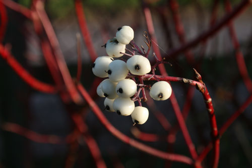Dogwood-berry