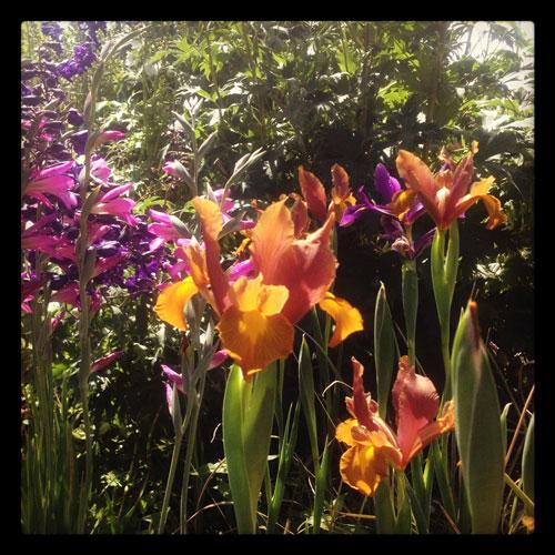 Iris-in-garden