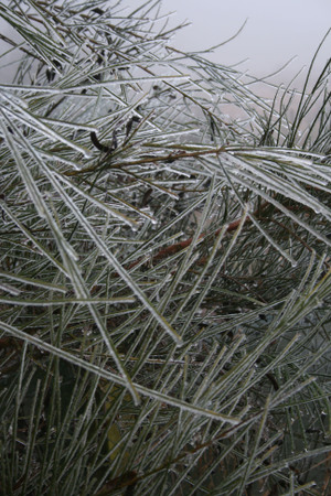 Broom_in_frost
