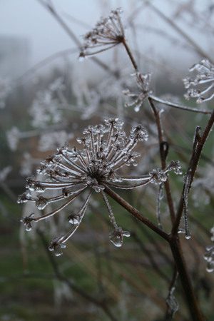 Fennel_in_frost
