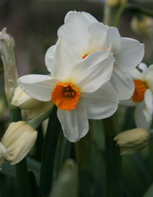 Narcissi_geranium